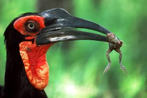 A Southern Ground Hornbill with its prey, an unlucky frog.