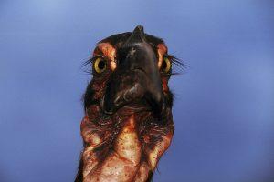 A Southern Ground Hornbill.