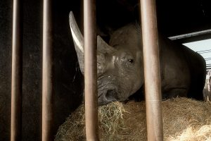 A rhino - waiting for a new home - feeds in a cage before the auction begins.