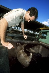 A vet is waiting for the right moment to grap the tranquiliser-injection in the rhinos neck after the animal is moved into a transport-box.