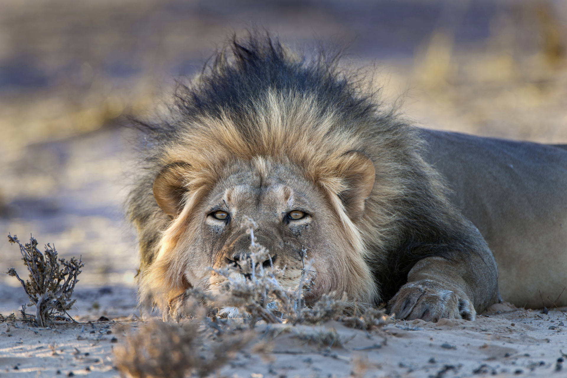 Löwe (Panthera leo), Kgalagadi Transfrontier Park / Südafrika, Botswana