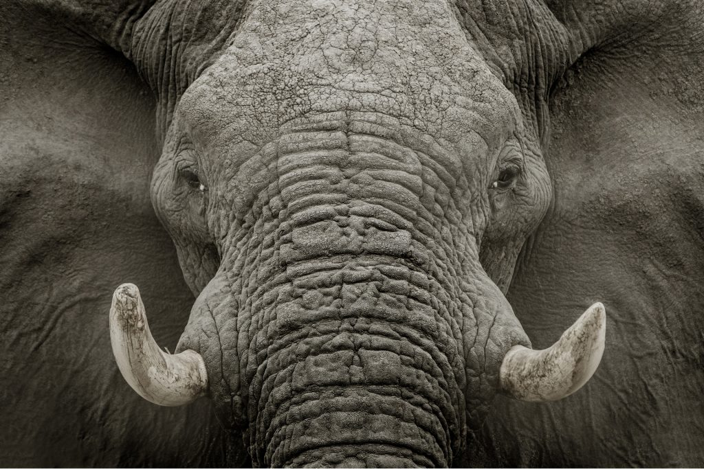 Afrikanischer Elefant (Loxodonta africana), Savuti, Chobe National Park, Botswana