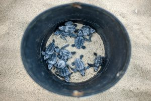 A bucket of just hatched turtles.