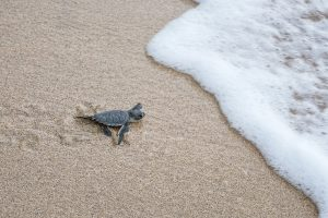 A newly hatched turtle on its way into the sea.